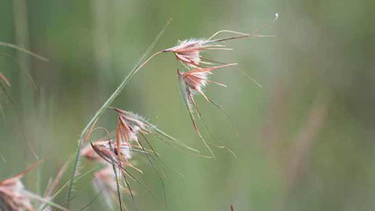 A closeup of the Themeda Triandra grass