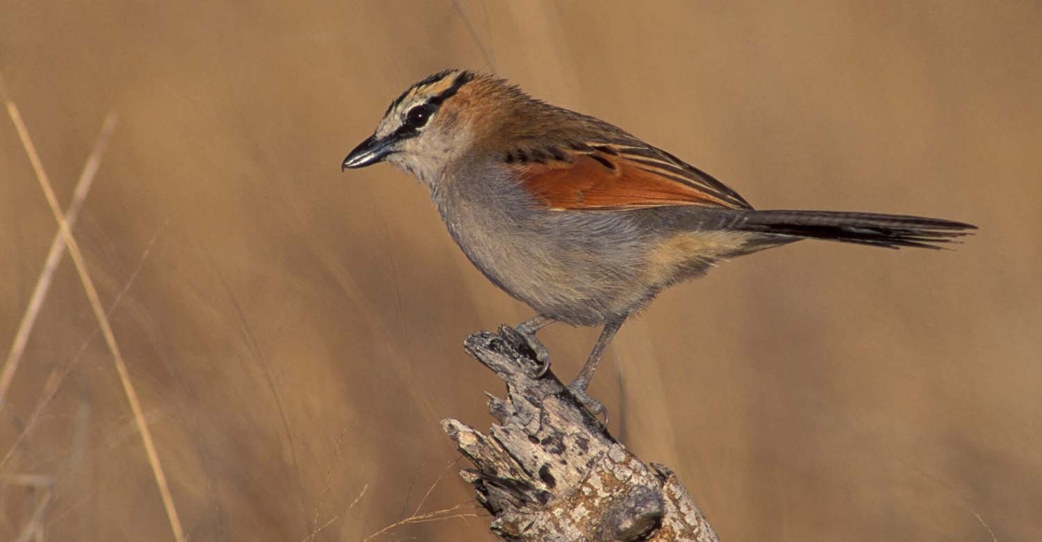 Black-Crowned Tchagra by Albert Froneman