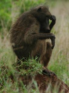The Baboon Thinker by Jenny Hyde-Johnson