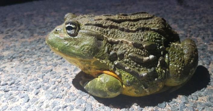 Bullfrog in Laezonia