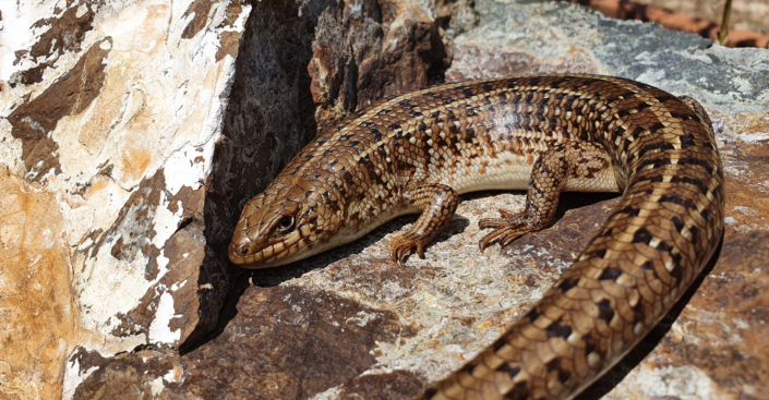 A Cape Skink in the Crocodile River Reserve by Anthony Stewien