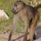Chacma Baboon from Wikimedia by Charles J Sharp